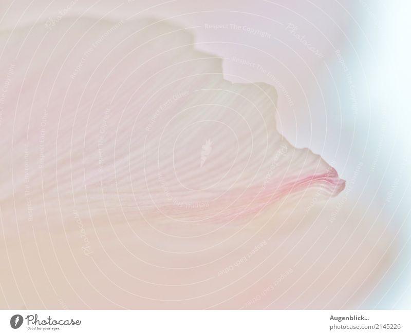 Blütenblatt im zarten Licht... Blume Makroaufnahme Pflanze Nahaufnahme Natur Detailaufnahme Blühend Sommer Frühling Farbfoto schön rosa natürlich
