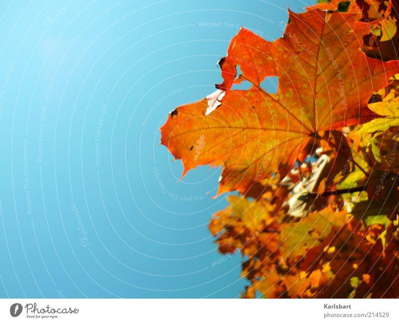 himmel. es herbstet. Lifestyle Freude Leben Sinnesorgane Erholung Umwelt Natur Himmel Herbst Schönes Wetter Baum Blatt Ahornzweig Ahornblatt gelb rot