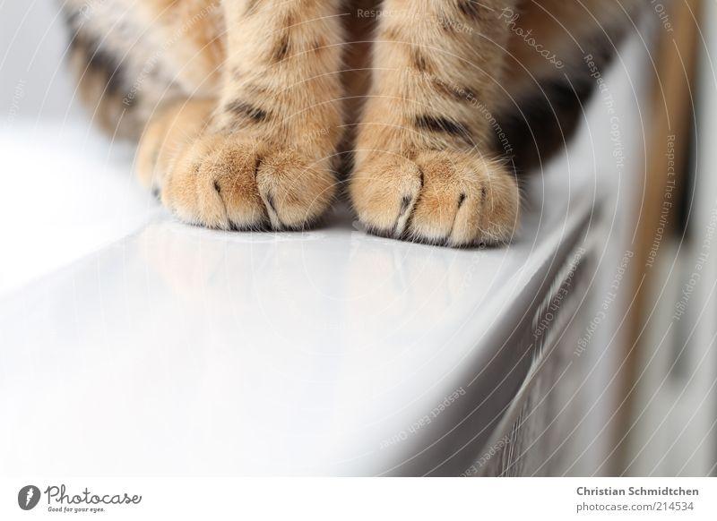 Fellfüße Tier Haustier Katze Pfote 1 Tierjunges sitzen stehen kuschlig braun schwarz weiß Bengalen Hauskatze Rassekatze Badewanne Farbfoto Innenaufnahme