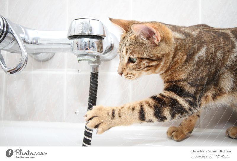 Wasserkatze weiß Freude schwarz Tier Katze braun Wassertropfen Bad beobachten Schwimmen & Baden fangen Fliesen u. Kacheln Neugier Mut Haustier Wasserhahn