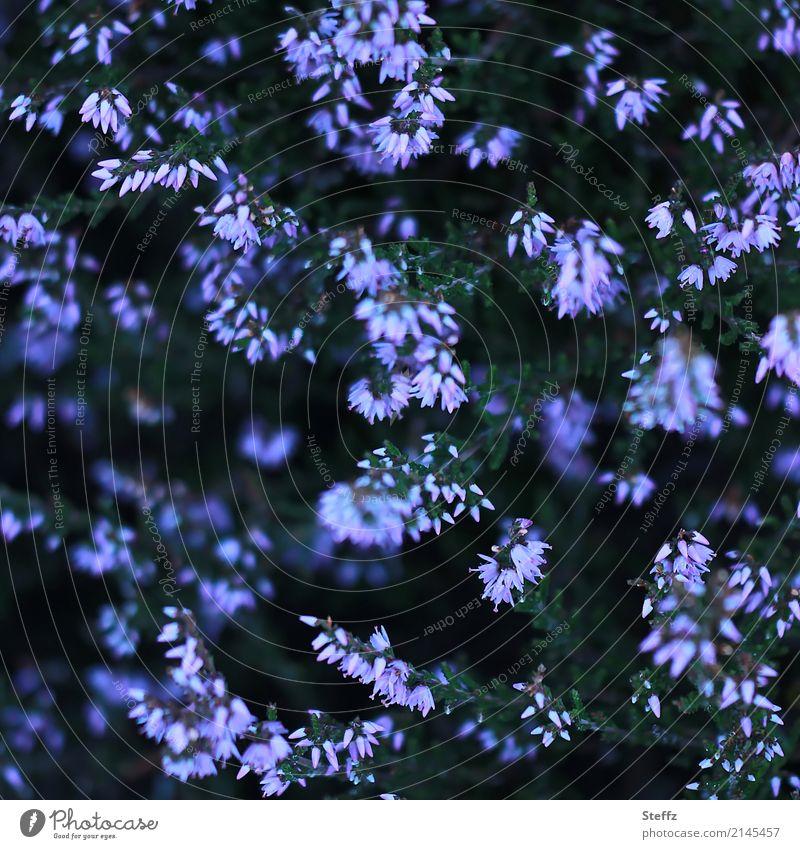 Blütenmuster II Natur Pflanze Sommer Sträucher Wildpflanze Bergheide Heidekrautgewächse Calluna Blühend schön violett August dunkelgrün Dunkelfärbung abstrakt