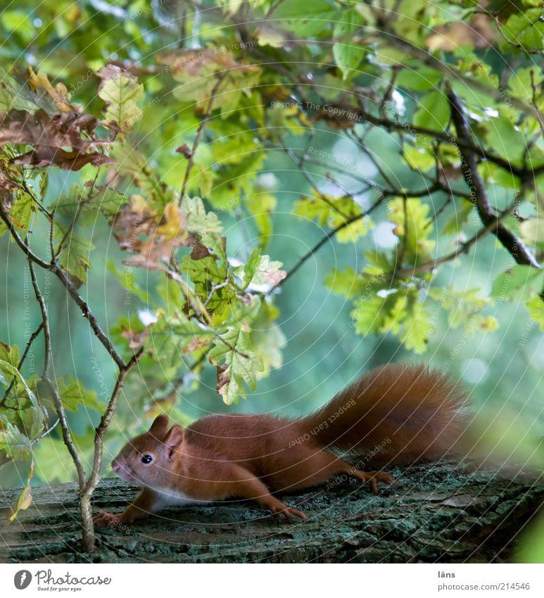 Eichhörnchen Tier Wildtier 1 beobachten hocken krabbeln braun grün Mut Misstrauen Eiche Blatt Blätterdach Ast Baumstamm Wald Fell bewegungslos warten ducken