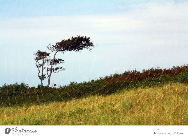 Westfön Landschaft Baum Wahrzeichen braun gelb einzeln Stranddüne Düne Dünengras Windflüchter Farbfoto Gedeckte Farben Außenaufnahme Menschenleer Tag Gras Natur