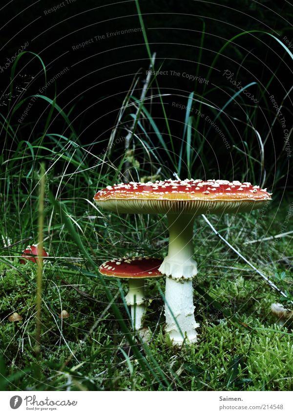 kleiner Bruder Umwelt Natur Erde Wiese Pilz Fliegenpilz Märchenlandschaft Komplementärfarbe ruhig schön bezaubernd Wachstum gepunktet Farbfoto mehrfarbig