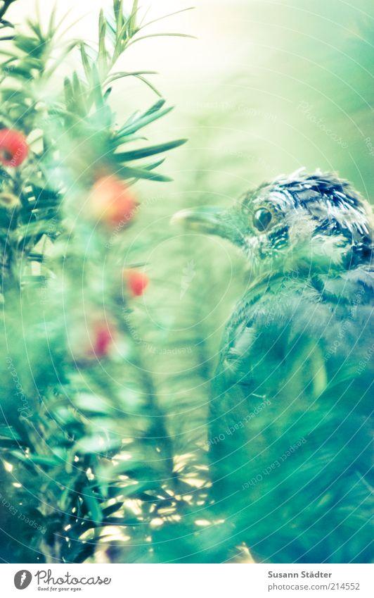 versteckt Sträucher Vogel träumen Traurigkeit Traumwelt Nadelbaum Einsamkeit Pirsch verstecken Versteck Erholung Pause Eibe Beeren sitzen Farbfoto Nahaufnahme