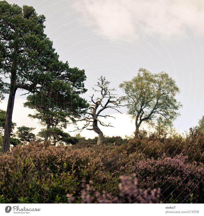 blühende Landschaften alt Baum Pflanze Tod Landschaft Sträucher kahl verblüht Kiefer karg Schottland Umwelt Heide dehydrieren