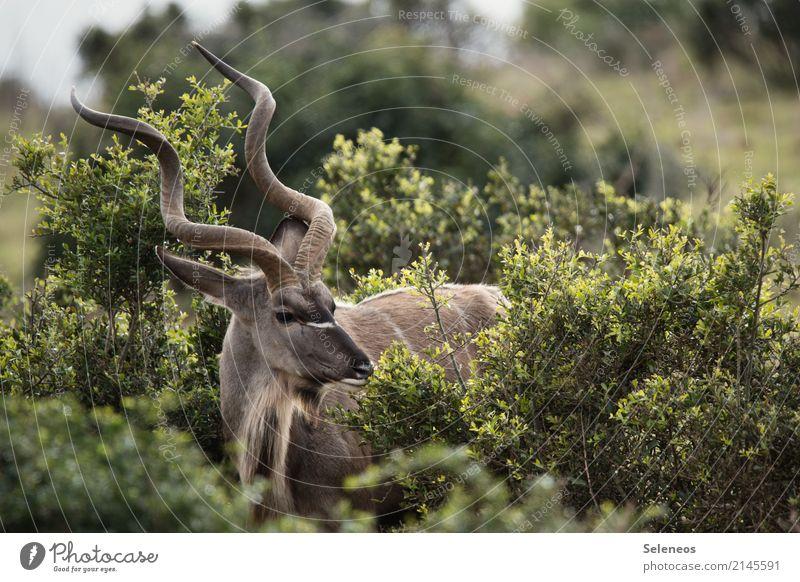 . Ferien & Urlaub & Reisen Tourismus Ausflug Abenteuer Ferne Freiheit Safari Expedition Umwelt Natur Frühling Sommer Sträucher Tier Wildtier Tiergesicht Kudu