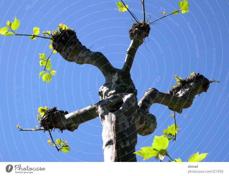 Frühling Baum Blatt grün eigenwillig Platane Himmel blau Baumstamm Ast Zweig