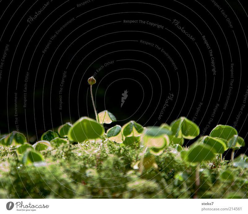 aufkeimendes Glück Erde Grünpflanze Blühend Wachstum grün Optimismus Hoffnung Kleeblatt Blütenknospen Moos Waldboden zart Licht Farbfoto Nahaufnahme