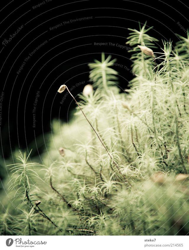 famoos Natur Pflanze Moos grün zart Blüte nah Waldboden Gedeckte Farben Nahaufnahme Menschenleer Textfreiraum oben Kontrast Textfreiraum links
