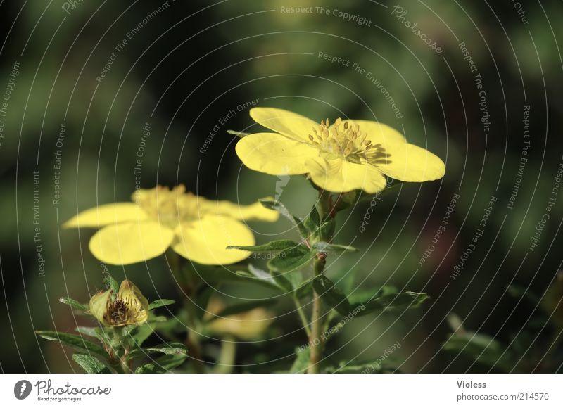 Fingerstrauch Natur schön Pflanze Sommer gelb Romantik Blühend leuchten Schönes Wetter Blütenblatt Blütenstiel Fingerkraut