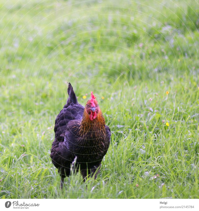 glückliches Huhn Natur Pflanze Sommer Landschaft rot Tier schwarz Leben Umwelt Wiese natürlich Gras Freiheit braun Zufriedenheit Idylle