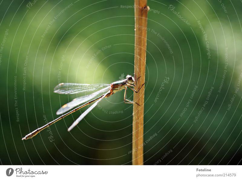 kleine Pause Umwelt Natur Pflanze Tier Urelemente Luft Sommer Wildtier Flügel 1 sitzen hell natürlich braun grün Insekt Libelle Halm vertrocknet Erholung