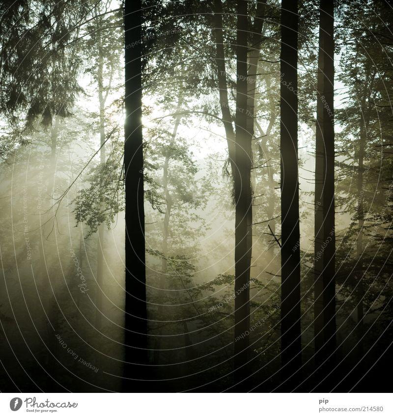 morgenstimmung Natur Sonne Herbst Klima Schönes Wetter Nebel Baum Baumstamm Wald Urwald dunkel frisch hell natürlich Hoffnung Traurigkeit Wachstum