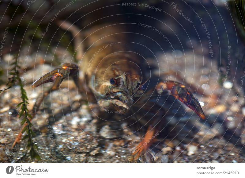 Nahaufnahme auf einer Krabbe Meeresfrüchte Sommer Natur Tier Fluss frisch Arthropode Krallen Schmarotzerrosenkrebs Fisch Lebensmittel Feinschmecker Wirbellose