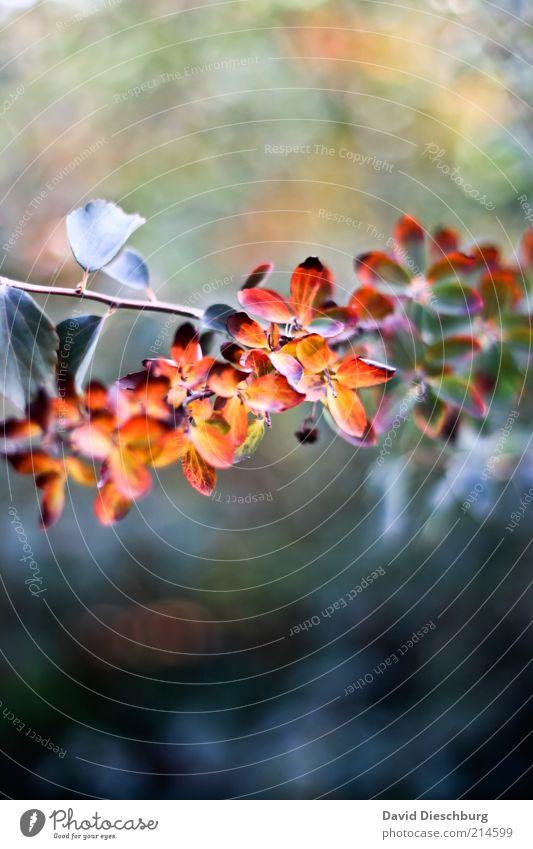 Vorfreude auf den Herbst Natur grün schön Pflanze rot Blatt ruhig orange gold Sträucher Ast Jahreszeiten Herbstlaub herbstlich November