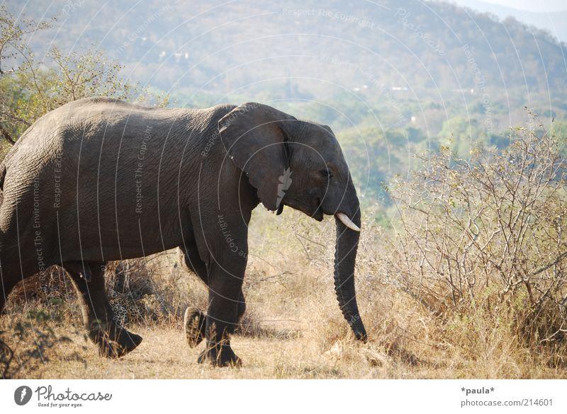 Leopard Umwelt Landschaft Schönes Wetter Dürre Sträucher Südafrika Tier Wildtier Nationalpark Elefant 2 beobachten laufen liegen warten frei gigantisch groß