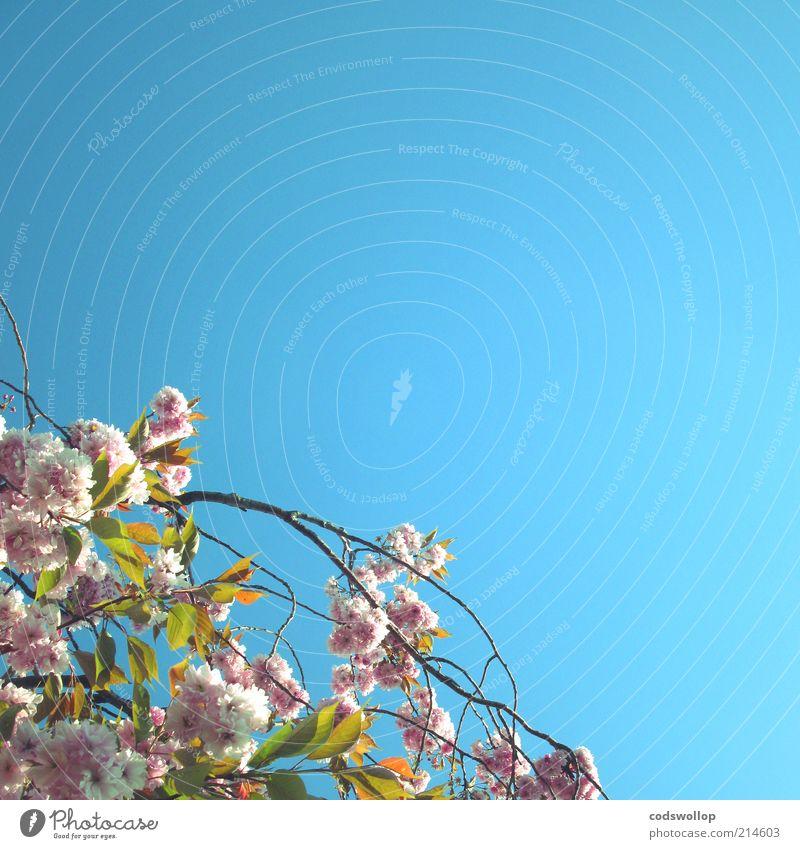i heard the flowers in the trees Natur Pflanze Himmel Wolkenloser Himmel Frühling Schönes Wetter Baum Duft hell neu Wärme Blühend Blüte Farbfoto Außenaufnahme