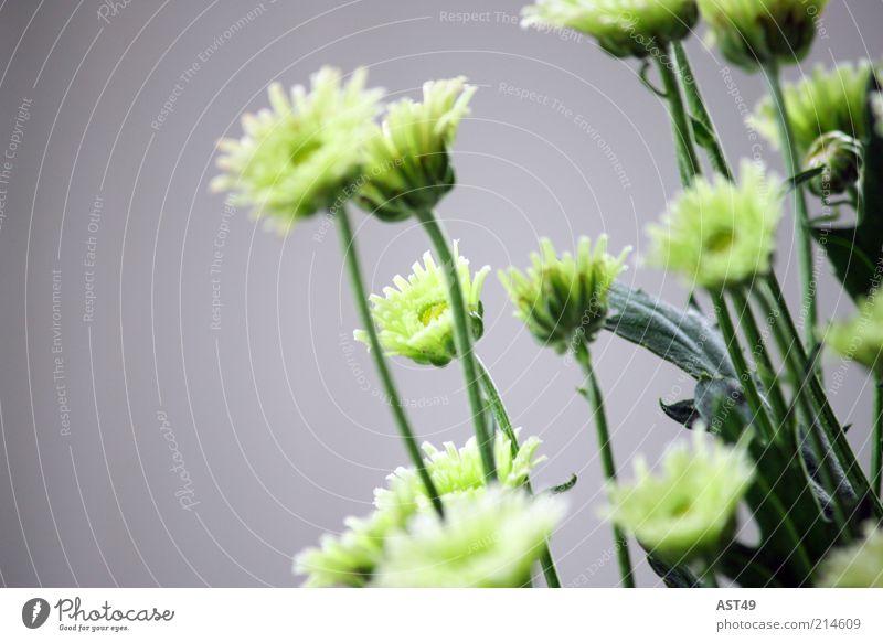 Grünzeug schön Blume grün Pflanze Sommer ruhig Blatt kalt Stil Blüte Frühling grau Stimmung frisch ästhetisch einfach