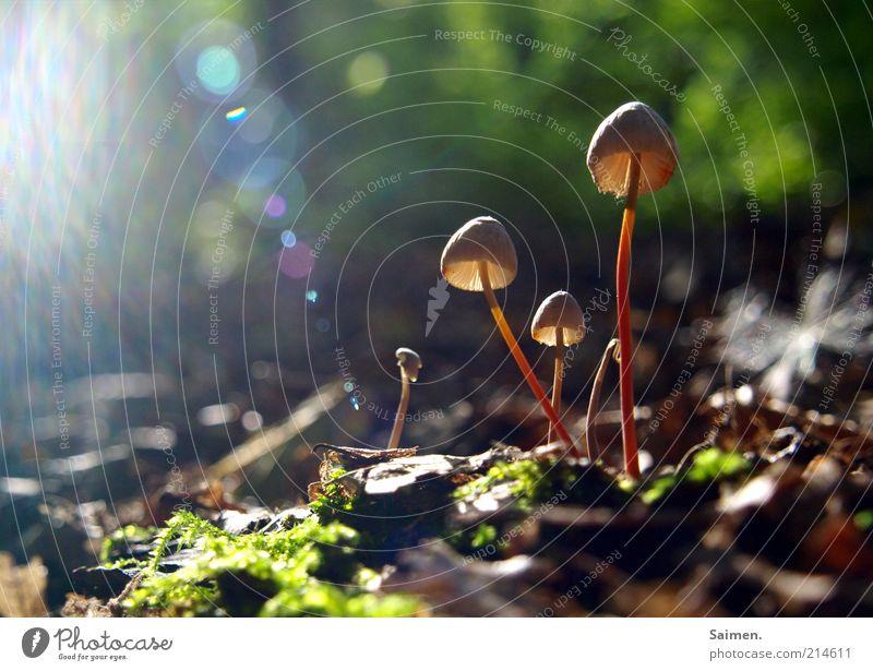 sunlight funghi Natur schön Pflanze Blatt Wald Herbst glänzend klein Umwelt Boden fantastisch natürlich außergewöhnlich Pilz Moos schimmern