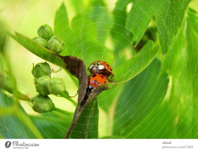 Vermehrung Sommer Blatt Tierpaar paarweise Käfer Marienkäfer Fortpflanzung Siebenpunkt-Marienkäfer
