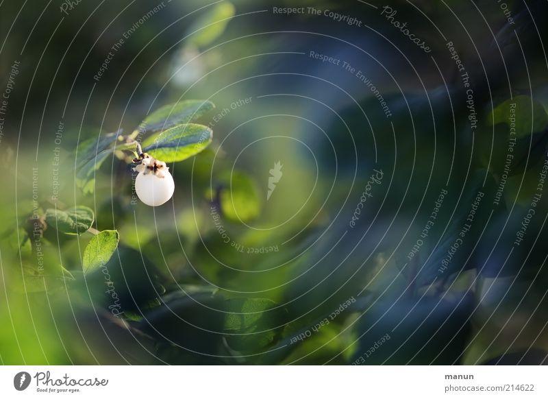 Knallerbse Natur schön weiß Baum grün Pflanze Blatt Sträucher fantastisch außergewöhnlich Beeren Umweltschutz Grünpflanze herbstlich Zierpflanze