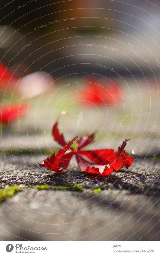 herbst Pflanze Herbst Blatt Garten Park Wege & Pfade liegen schön rot Gelassenheit geduldig ruhig Farbfoto mehrfarbig Außenaufnahme Nahaufnahme Menschenleer