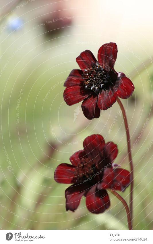 schokoladenblume - der sonne entgegen Natur Blume Pflanze rot Blüte Umwelt ästhetisch Blühend Blumenstengel samtig bordeaux