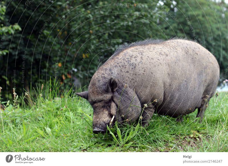 Schwein gehabt, ... Umwelt Natur Pflanze Tier Sommer Baum Gras Grünpflanze Wiese Haustier Hängebauchschwein 1 Fressen stehen authentisch außergewöhnlich dick