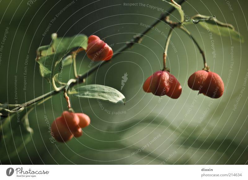 Europäisches Pfaffenhütchen Umwelt Natur Pflanze Sträucher Blatt Grünpflanze Wildpflanze Giftpflanze Beeren Beerensträucher Zweige u. Äste hängen Wachstum grün