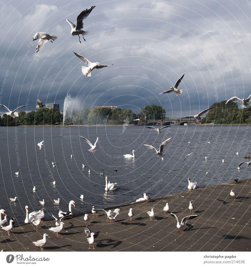 Die Vögel Wolken See Vogel fliegen Hamburg Tiergruppe schreien Appetit & Hunger viele Seeufer Stadtzentrum Möwe Fressen Konkurrenz Schwan