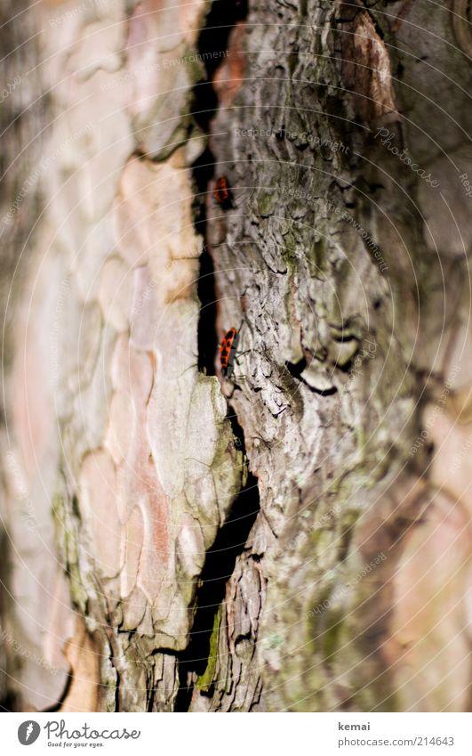 Leben in der Rinde Umwelt Natur Pflanze Tier Sommer Schönes Wetter Wärme Baum Wildpflanze Baumrinde Baumstamm Linde Befall Wildtier Käfer Wanze Feuerwanze