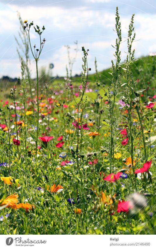Blumenwiese im Sommer mit vielen verschiedenen Blumen und Gräsern Umwelt Landschaft Pflanze Himmel Wolken Schönes Wetter Gras Blatt Blüte Wiese Blühend stehen