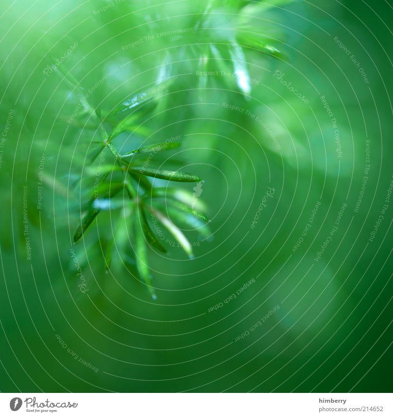 zweigstelle Umwelt Natur Pflanze Klima Baum Grünpflanze Wildpflanze Urwald Leben Perspektive Tanne Tannenzweig Zweige u. Äste Farbfoto mehrfarbig Außenaufnahme