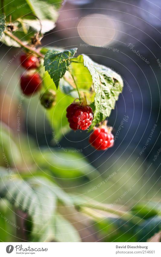 Lecker und gesund Lebensmittel Frucht Ernährung Bioprodukte Vegetarische Ernährung Umwelt Natur Pflanze Sommer Sträucher Nutzpflanze gelb grün rot Himbeeren