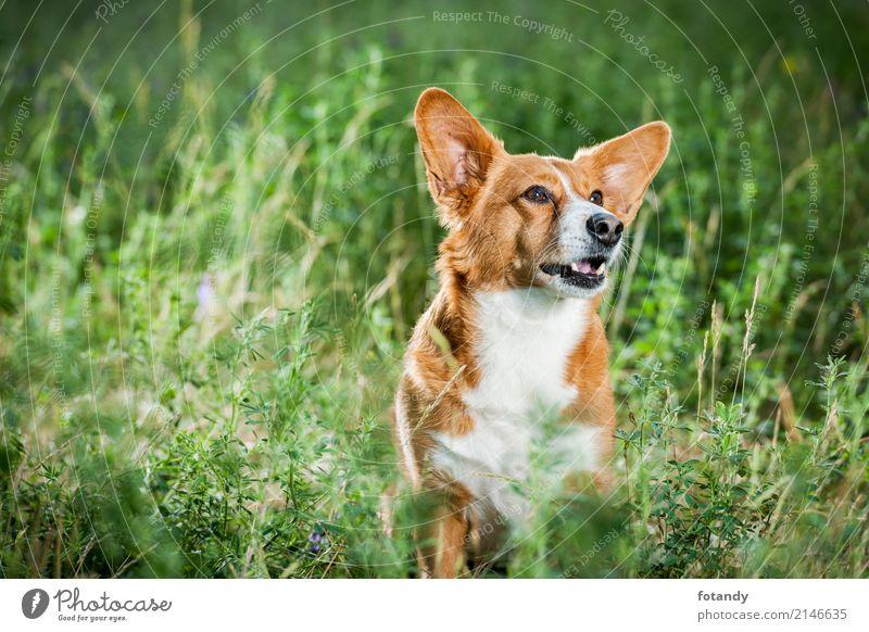 Welsh Corgi on the grass lookin up Mensch Hund Sommer schön grün Tier Freude Gras klein braun orange Freundschaft sitzen Platz Schönes Wetter warten