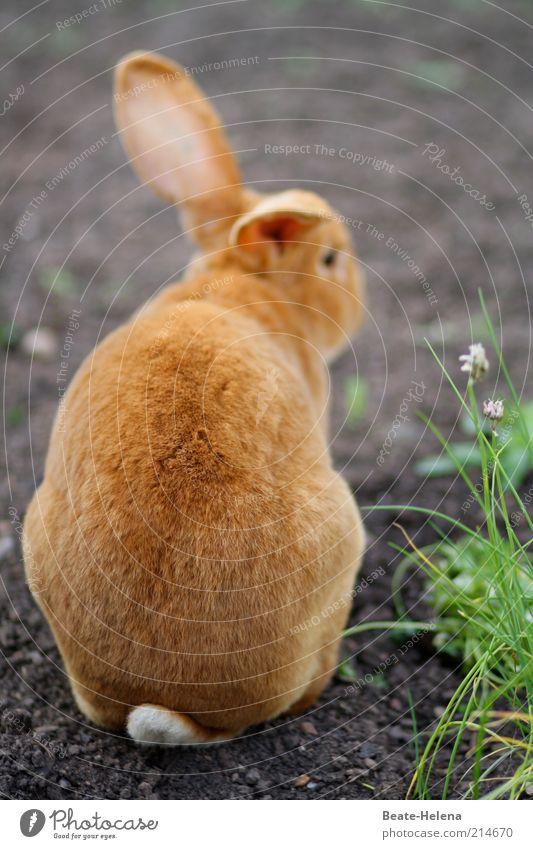 Ferne Osterträume Natur Frühling rothaarig Behaarung Tier Nutztier Wildtier Fell Streichelzoo Zeichen Osterhase hocken warten Fröhlichkeit kuschlig schön braun