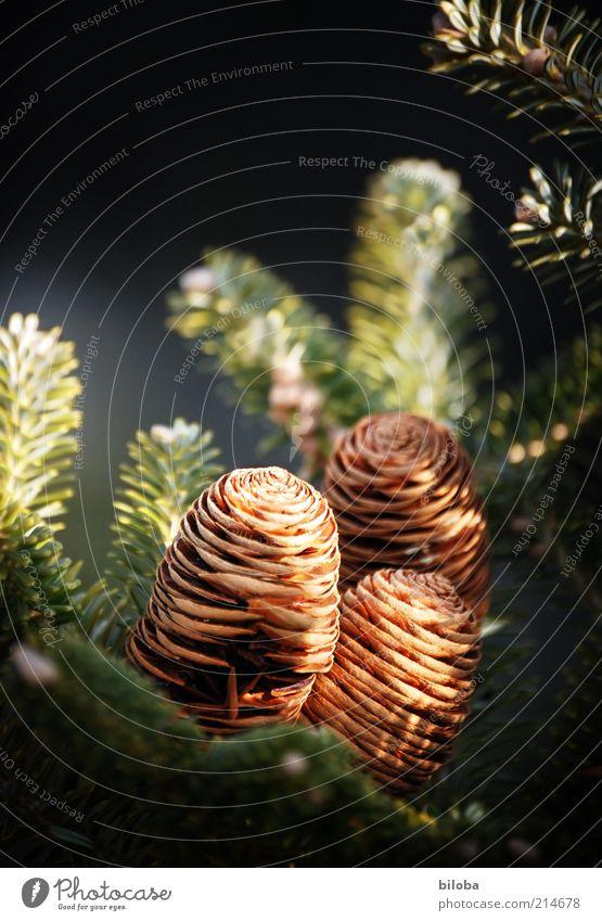 Ozapft is! Natur grün schön Baum Pflanze Gefühle Stimmung braun gold 3 Dekoration & Verzierung Hoffnung Wunsch Tanne Schmuck Inspiration