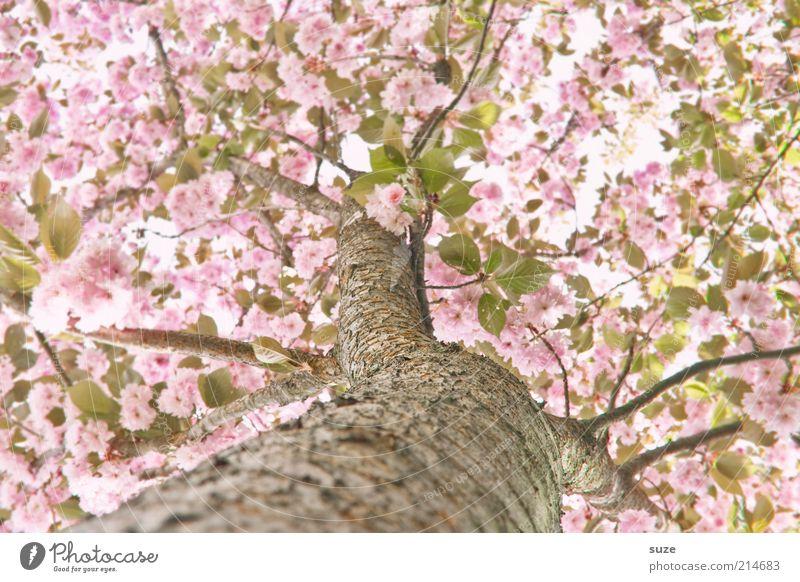 Frühling! Himmel Natur schön Baum Umwelt Blüte rosa Wachstum Sträucher ästhetisch Blühend Ast Schönes Wetter Freundlichkeit Baumstamm