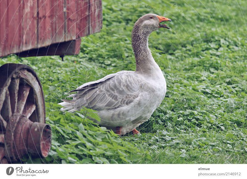 Jolanda hat Freigang (1) Sommer Haustier Flügel Gans Bewegung laufen Blick schreien Aggression bedrohlich klug grau Lebensfreude Romantik Wachsamkeit