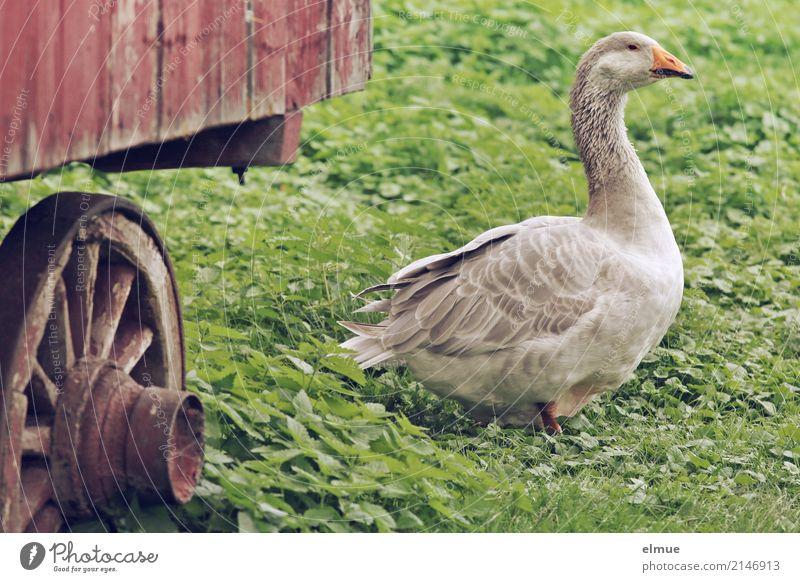 Jolanda hat Freigang (2) Sommer Gras Nutztier Gans Pommerngans Federvieh Bauernhof beobachten Blick elegant grau Glück Zufriedenheit Lebensfreude Armut