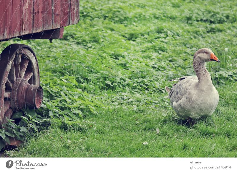 Jolanda hat Freigang (3) Sommer Gras Haustier Gans Pommerngans Federvieh beobachten stehen authentisch frei grau Lebensfreude Romantik Gelassenheit bescheiden
