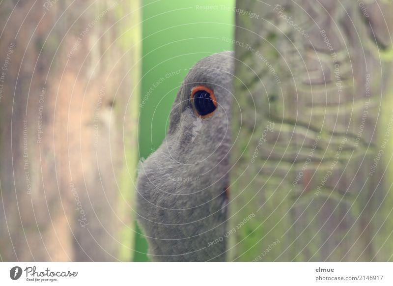 *400* (Augen)blicke Nutztier Vogel Gans Federvieh Pommerngans beobachten Kommunizieren Blick Neugier grau Interesse Angst geheimnisvoll Kontakt Kontrolle