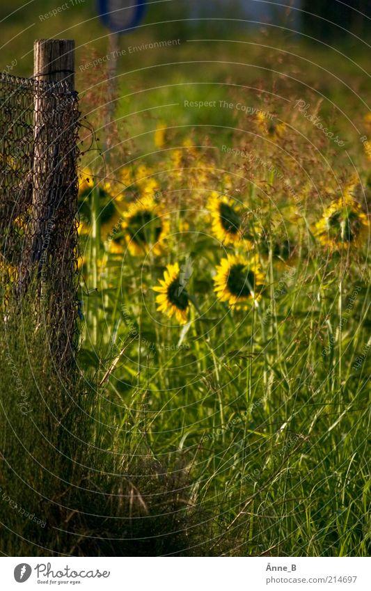 Sonnenblumen in Ciabot Natur Pflanze Sommer Ferien & Urlaub & Reisen Blume ruhig gelb Leben Gras Feld Ausflug ästhetisch Wachstum rund Dekoration & Verzierung