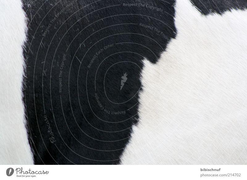 Fell einer Kuh in schwarz weiß schön Tier Wärme gefleckt Textfreiraum Nutztier Detailaufnahme