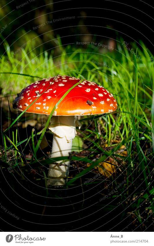 Unter Birken Sinnesorgane Natur Sonnenlicht Herbst Punkt leuchten schön wild mehrfarbig gelb grün rot weiß Stimmung Fliegenpilz Pilzhut Gift Gras Menschenleer