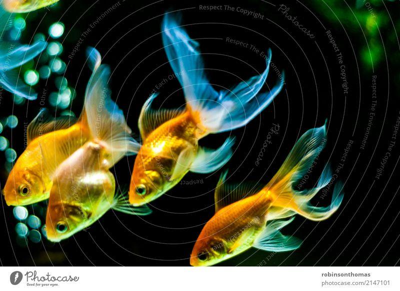 Goldfische schwimmen nach unten Tier Haustier Fisch Aquarium schön Erholung Freiheit Freizeit & Hobby Freude Freundschaft Glück Farbfoto Menschenleer