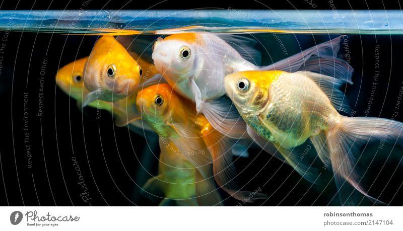 Goldfische gruppiert zusammen im Süßwasseraquarium Natur Pflanze Tier Haustier Fisch Aquarium Tiergruppe Bewegung warten Freundlichkeit Fröhlichkeit gold rot