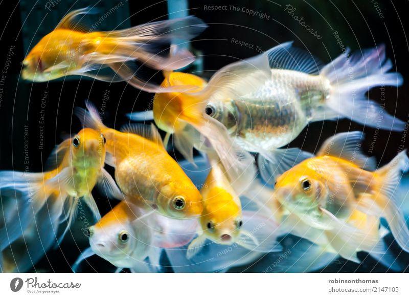 Gold fischt im Süßwasseraquariumbecken schön Natur Tier Haustier Fisch Aquarium Tiergruppe Bewegung gold orange weiß Farbe aquatisch Hintergrund