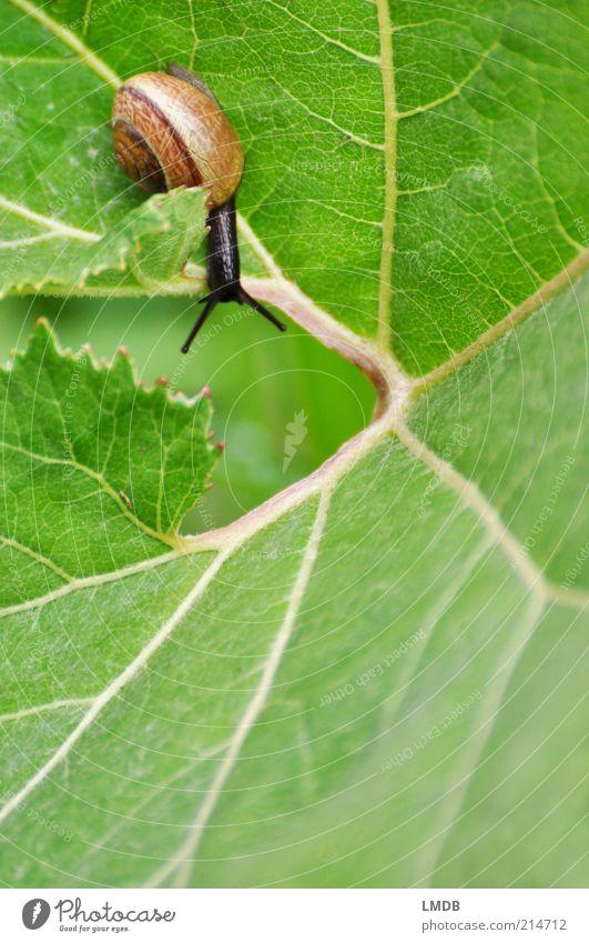 Hals über Kopf im Grünen Natur ruhig Blatt Tier Erholung grau braun Umwelt Geschwindigkeit Lebewesen Loch Schnecke abwärts Spirale Fühler Richtung